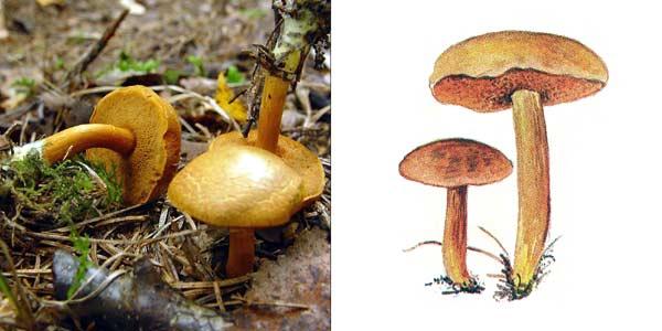 Перечный гриб, или масленок перечный - Suillus piperatus (Fr.) O. Kuntze.