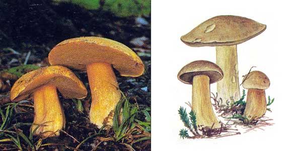 Масленок желто-бурый, или моховик желто-бурый, или болотный - Suillus variegatus (Fr.) Kunze