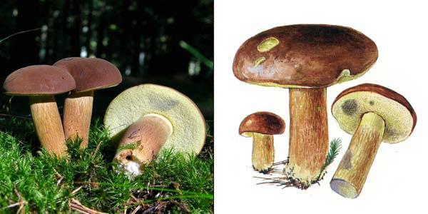 Польский гриб, или коричневый гриб, или панский гриб, или каштановый моховик - Xerocomus badius Gilb.
