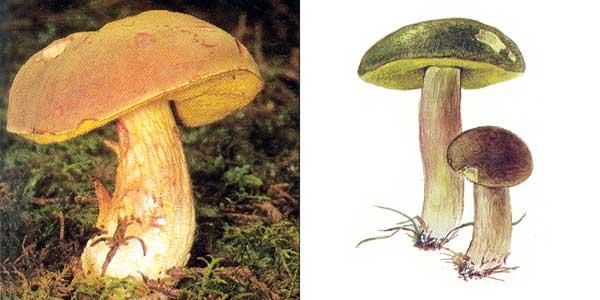 Моховик зеленый, или моховик красный - Xerocomus subtomentosus (Fr.) Quel.