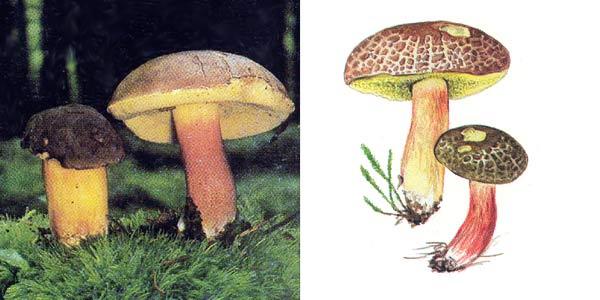 Моховик трещиноватый, или моховик пестрый, или моховик красный - Xerocomus chrysenteron (St. Amans) Quel.