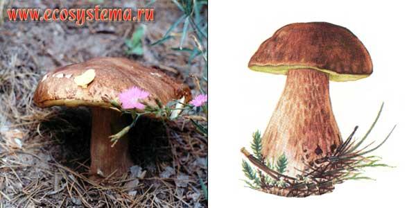 Белый гриб, или боровик, или коровка - Boletus edulis Fr.