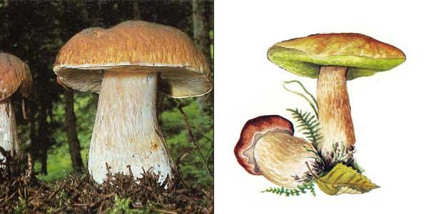Белый гриб еловый - Boletus edulis f. edulis Vassilk.