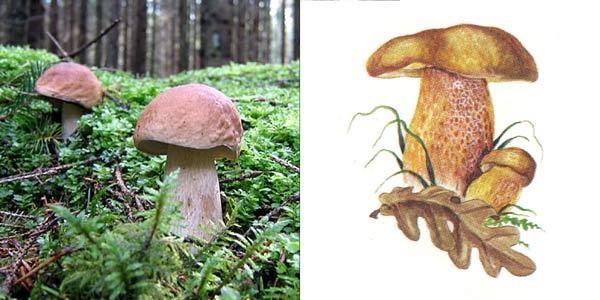 Белый гриб, форма дубовая - Boletus edulis f. quercicola Vassilk.