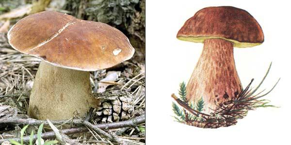 Белый гриб сосновый, или боровик - Boletus edulis f. pinicola (Vitt.) Vassilk., или Boletus pinophilus Pilat et Dermek