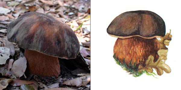 Болет бронзовый - Boletus aereus, или Boletus edulis f. aeres (Fr.) Vassilk.
