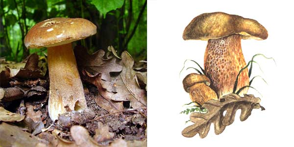 Белый гриб дубовый, или боровик сетчатый, или белый летний гриб, или белый гриб, или сетчатая форма - Boletus reticulatus, или Boletus aestivalis, или Boletus edulis f. reticulatus, или Boletus quercicola