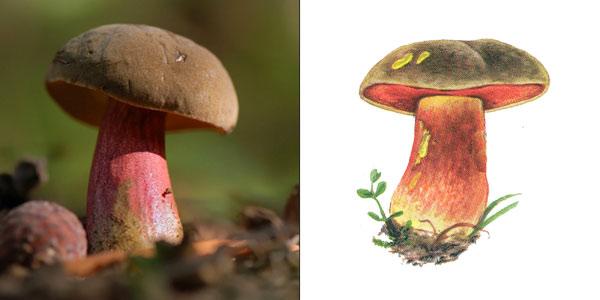 Дубовик крапчатый, или поддубник, или боровик зернистоногий, или болетус красноножковый - Boletus erythropus (Fr.) Secr.