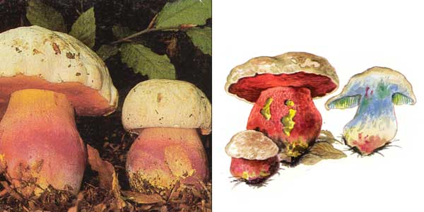 Сатанинский гриб, или болет сатанинский - Boletus satanas Lenz.