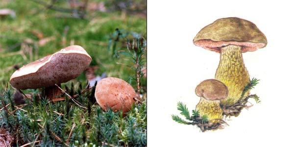 Желчный гриб, или горчак, или ложный белый гриб, или горькушка - Tylopilus felleus (Fr.) Karsn.
