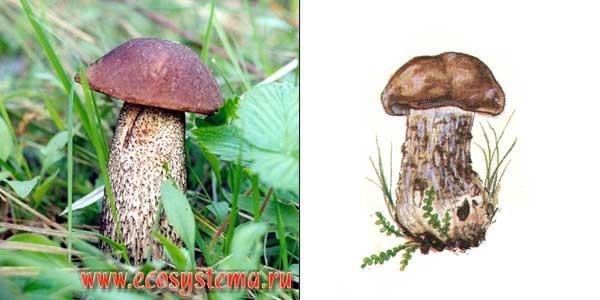 Подберезовик обыкновенный, или березовик обыкновенный, или обабок - Leccinum scabrum (Fr.) S. F. Gray.