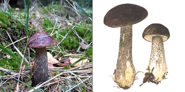 Подберезовик черный, или подберезовик черный, или черноголовик - Leccinum scabrum f. melaneum (Smotl.) Skirgiello., или Leccinum melaneum