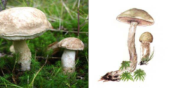 Подберезовик болотный, или подберезовик белый, или березовик болотный - Leccinum scabrum f. chiоneum (Fr.) Skirgiello.