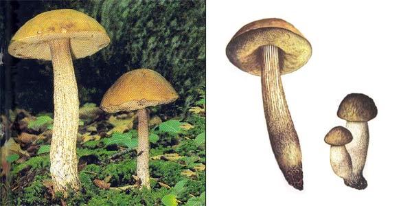 Грабовик, или подберезовик серый, или подберезовик вязовый - Leccinum griseum (Quel.) Singer., или Leccinum carpini, или Leccinum pseudoscabrum, или Boletus griseus