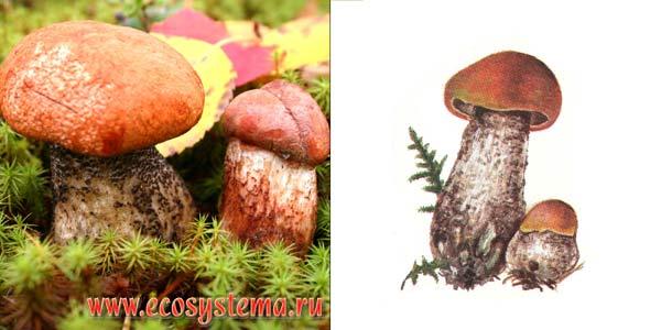 Осиновик красный, или красноголовик, или подосиновик красный - Leccinum aurantiacum (Fr) S. F. Gray., или Leccinum rufum