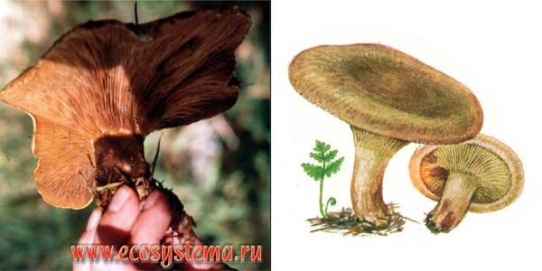 Свинушка тонкая, или свинушка тонконогая, или свиное ухо, или дунька - Paxillus involutus (Fr.) Fr.