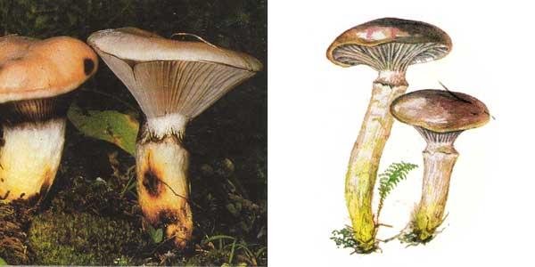 Мокруха еловая, или мокруха клейкая - Gomphidius glutinosus (Fr.) Fr.