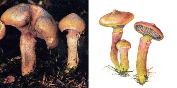Мокруха пурпуровая, или мокруха слизистая, или мокруха блестящая - Gomphidius rutilus (Fr.) Lundell. Et. Nannf.