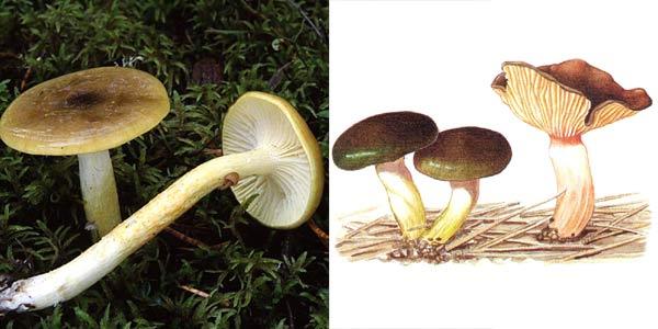 Гигрофор поздний, или гигрофор бурый, или мокрица, или сластена - Hygrophorus hypothejus (Fr.) Fr.