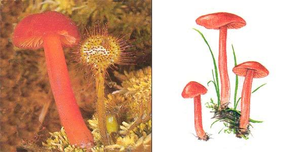 Гигроцибе киноварно-красная, или гигрофор киноварно-красный - Hygrocybe miniata (Fr.) Kumm., или Hygrophorus miniatus (Fr.) Fr.