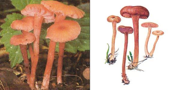 Лаковица розовая, или лаковица обыкновенная, или лаковица лаковая - Laccaria laccata (Fr.) Cke.