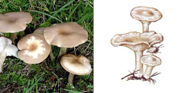 Говорушка восковатая, или говорушка сероватая, или говорушка восковидная - Clitocybe cerussata (Fr.) Gill.