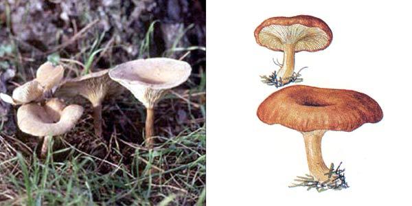 Говорушка перевернутая, или говорушка рыже-бурая - Clitocybe inversa (Fr.) Quel.