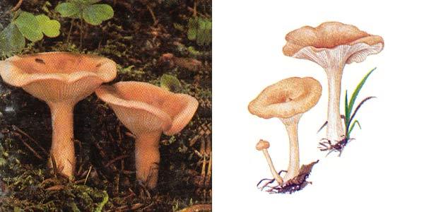 Говорушка ворончатая - Clitocybe gibba (Fr.) Kumm.