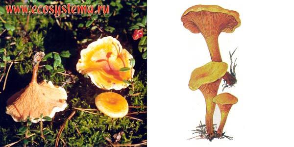 Говорушка оранжевая, или лисичка ложная, или кокошка - Clitocybe aurantiaca (Fr.) Stud.