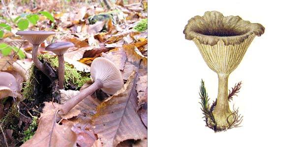 Говорушка бокаловидная - Clitocybe cyathiformis (Fr.) Kumm., или Pseudoclitocybe cyathiformis (Fr.) Sing.