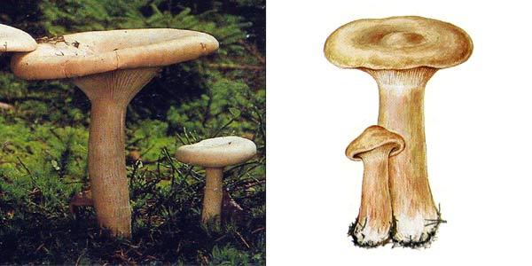 Говорушка подогнутая, или говорушка рыжая, или клитоцибе подогнутая - Clitocybe geotropa (St. Amans) Quel.