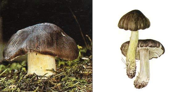 Рядовка серая, или рядовка штриховатая - Tricholoma portentosum (Fr.) Quel.