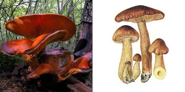 Рядовка желто-бурая, или рядовка желто-коричневая, или рядовка красно-бурая, или подорожник - Tricholoma flavobrunneum (Fr.) Kumm.