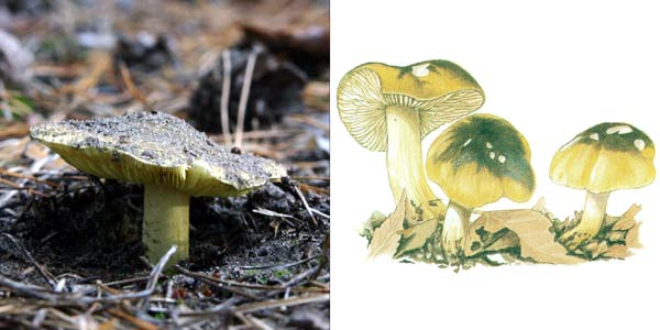 Зеленушка, или рядовка зеленая, или зеленка - Tricholoma flavovirens (Fr.) Lund.