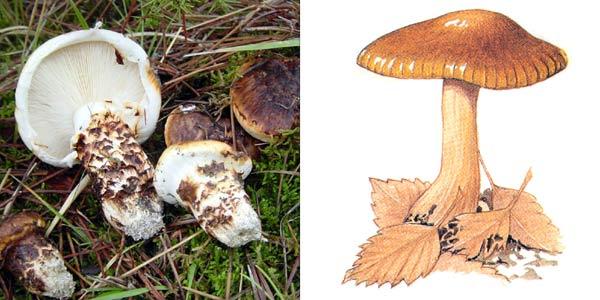 Рядовка тополевая, или тополевый гриб - Tricholoma populinum Lange.