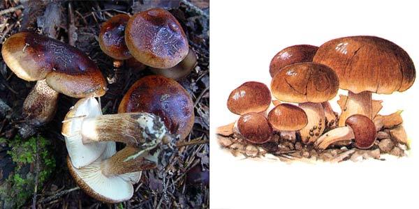 Рядовка бело-коричневая - Tricholoma albobrunneum (Fr.) Kumm., или Tricholoma striatum (Quel.) Sacc.