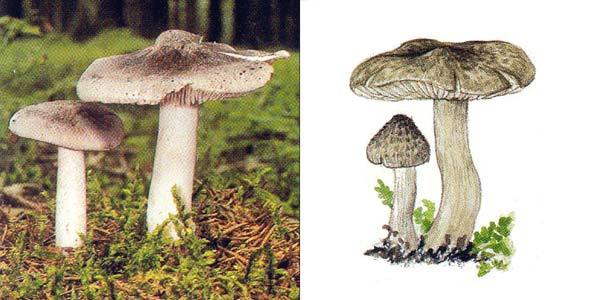 Рядовка землистая, или рядовка землисто-серая, или рядовка чешуйчатая, или рядовка напочвенная - Tricholoma terreum (Fr.) Kumm.