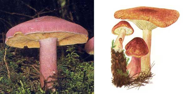 Рядовка желто-красная, или рядовка краснеющая, или ложнорядовка желто-красная, или опенок желто-красный, или опенок красный, или опенок сосновый - Tricholomopsis rutilans (Fr.) Sing.