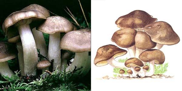 Лиофиллум скученный, или рядовка скученная, или рядовка групповая - Lyophyllum decastes (Fr.) Sing. ), или Clitocybe aggregata (Secr.) Gill., или Lyophyllum aggregatum, или Lyophyllum fumosum
