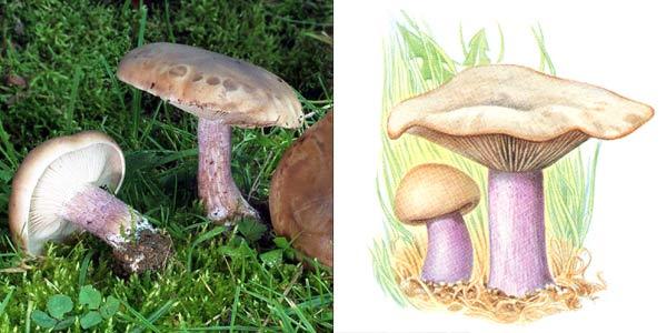 Рядовка лиловоногая, или леписта двуцветная, или рядовка двуцветная - Lepista saeva (Fr.) Orton, или Tricholoma personatum (Fr.), Kumm., или Rhodopaxillus saevus