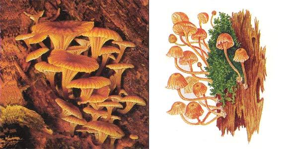 Ксеромфалина колокольчатая - Xeromphalina campanella (Fr.) Maire, или Omphalia campanella (Fr.) Kumm.
