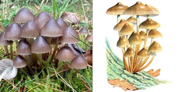 Мицена наклоненная, или мицена пестрая - Mycena inclinata (Fr.) Quel.