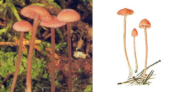 Мицена розовая, или розовик - Mycena rosella (Fr.) Kumm., или Mycena pura f. rosea (Schumach.) J.E. Lange, или Mycena pura var. rosea (Schumach.) J.E. Lange