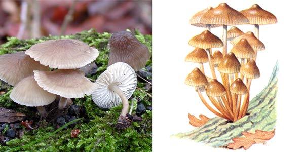 Мицена колпаковидная, или мицена серо-розовая, или мицена колокольчатая - Mycena galericulata (Fr.) S. F. Gray