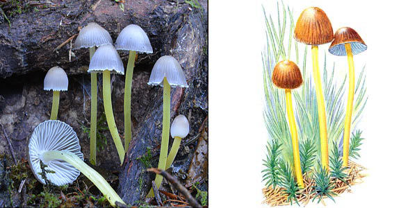 Мицена клейкая - Mycena viscosa (Secr.) Maire