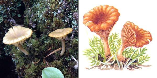 Омфалина пустошная - Omphalina ericetorum (Fr.) M. Lange, или Omphalia umbellifera (Fr.) Kumm.