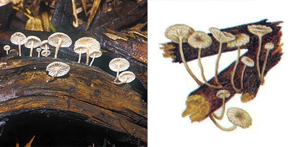 Негниючник веточковый, или чесночник веточковый, или маразмиеллюс веточный - Marasmius ramealis (Fr.) Fr., или Marasmiellus ramealis