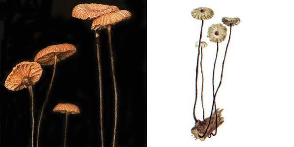 Чесночник тычинковидный, или чесночник щетинконожковый - Marasmius androsaceus (L.:Fr.) Fr.