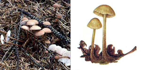 Чесночник дубовый - Marasmius prasiosmus (Fr.) Fr.
