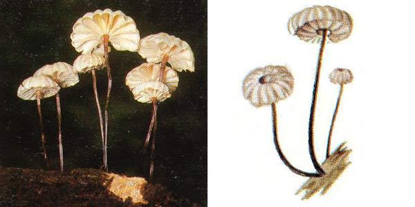 Негниючник колесовидный, или чесночник колесовидный - Marasmius rotula (Fr.) Fr.